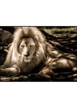 Lion Chillin