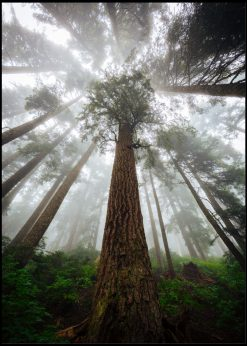 Tall Trees In The Mist